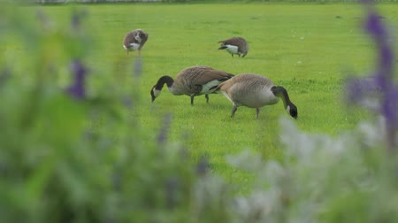 husy : Geese Eating On Meadow