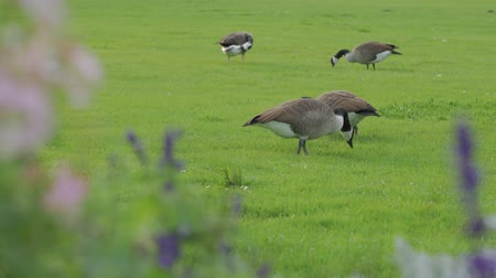 husy : Gray Geese Eat Grass