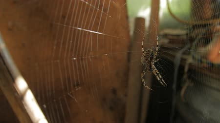 araneae : Big Web And Spider Eat