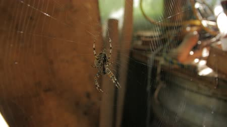 klimop : Big Web en Spider Eats