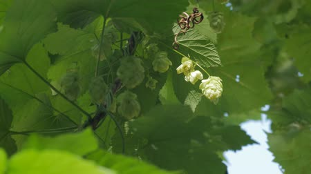 hops : The Green Flowers Of Hop