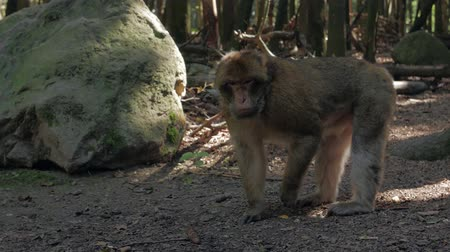barbary : Aggressive Monkey In The Forest