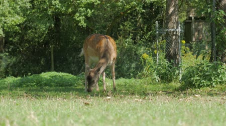 лань : The Deer Looking For Food