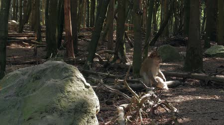 barbary : Macaque Monkey In The Forest