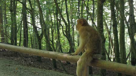 barbary : Monkey Climbs In The Forest