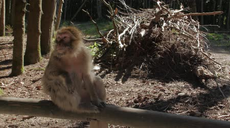 barbary : Monkey Macaque In The Forest Stock Footage