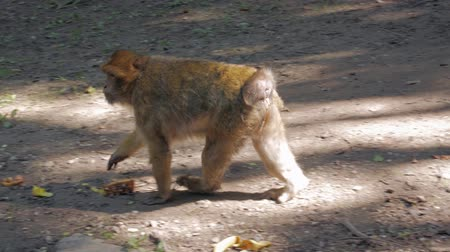 barbary : Monkey Walks In The Forest Stock Footage