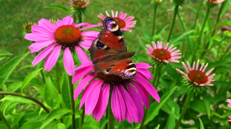 polilla : butterfly on flower