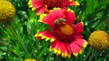 flor silvestre : Bee and flower