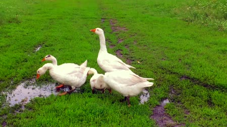 sereg : Family of animals go to drink water from the pond.