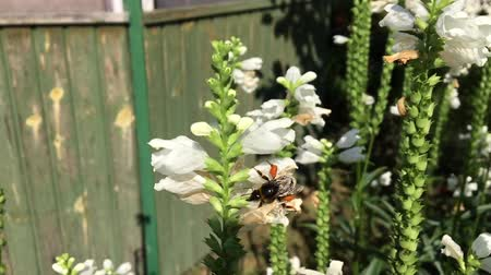 product of : Winged bee slowly flies to the plant, collect nectar for honey on private apiary from flower.