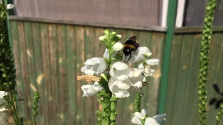 mead : Winged bee slowly flies to the plant, collect nectar for honey on private apiary from flower.