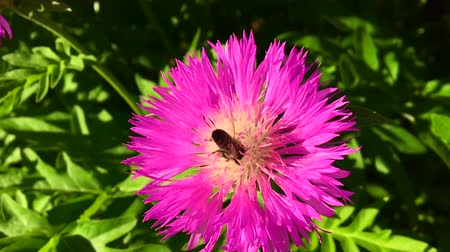 Winged bee slowly flies to the plant, collect nectar for honey on private apiary from flower.