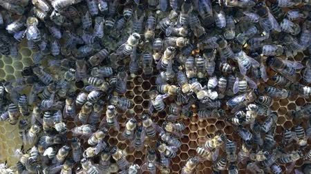 насекомые : Abstract hexagon structure is honeycomb from bee hive filled with golden honey. Honeycomb summer photography of gooey honey from bee village. Honey rural of bees honeycombs to countryside.