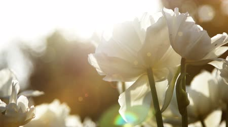 flor cabeça : 1920x1080, 1080p, Big snow-white tulips against the sundown, close-up Stock Footage