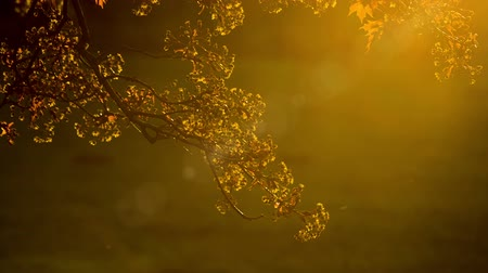 raios de sol : Golden foliage of tree on background of sunbeam Stock Footage