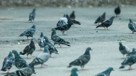 jitters : Pigeons peck feed on the square