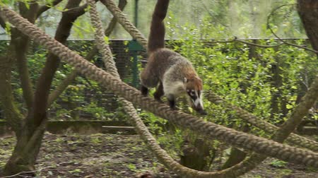 diurnal : The coati (nasua nasua) descends the rope, HD 1080p