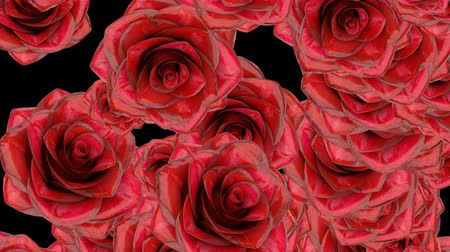 Beautiful seamless loop animation like introduction for some celebration video. On this 3d footage big red rose buds falling down on black background with alpha matte layer