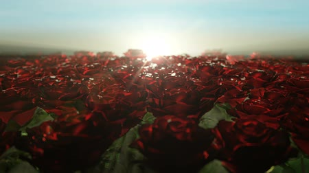 Beautiful calm sunrise over field of red roses. Rose buds slowly swaying from side to side under the faint morning breeze, seamless loop animation.