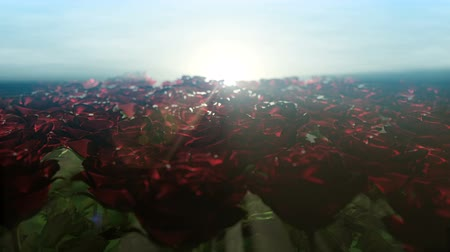 Beautiful pacify sunrise over field of millions red roses. Camera moves along the edge of the field and rose buds swaying from side to side under the faint morning breeze, seamless loop animation.