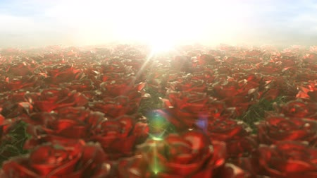 Beautiful cg animation a slowly morning walk through the field of red roses. The scarlet buds of flowers bloom in the rays of the bright yellow sun. Tranquil spring summer landscape, seamless loop. Stok Video