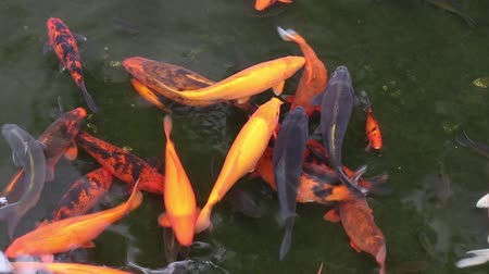 brocaded : Brocaded carp in a pond