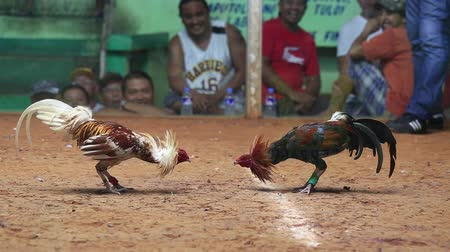 cock fights : LEGAZPI, PHILIPPINES - MARCH 16, 2014 : Unidentified people during Philippine traditional cockfighting competition. Cock fights are illegal, however are tolerated out of tradition.