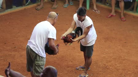 cock fights : ANDA, PHILIPPINES - MARCH 02, 2014 : Unidentified people during Philippine traditional cockfighting competition. Cock fights are illegal, however are tolerated out of tradition.