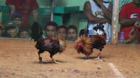 legazpi : LEGAZPI, PHILIPPINES - MARCH 16, 2014 : Unidentified people during Philippine traditional cockfighting competition. Cock fights are illegal, however are tolerated out of tradition.