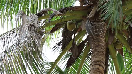 coconut palm tree : A trained monkey for breaking coconuts on the palm tree. Island Koh Phangan, Thailand Stock Footage