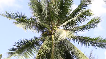 coconut palm tree : Coconuts palm tree perspective view from floor high up