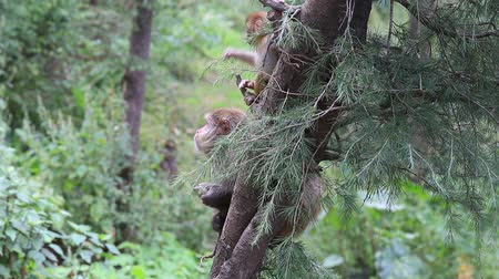 vida selvagem : Macaque monkey in Mcleod Ganj, Dharamsala, India.