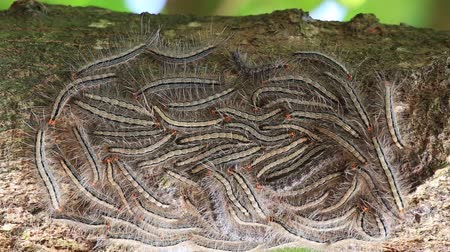 itch : Oak processionary moth - Thaumetopoea processionea caterpillars on the tree in summer