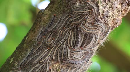 güve : Oak processionary moth - Thaumetopoea processionea caterpillars on the tree in summer