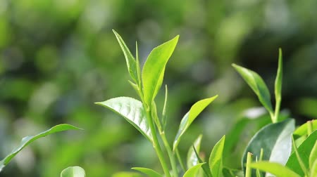 listki : Young green leaves & leaf bud of the tea tree on plantation in Nuwara Eliya, Sri Lanka Wideo