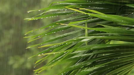 chuva : Tropical rain drops falling on the large palm leaves in Thailand Vídeos