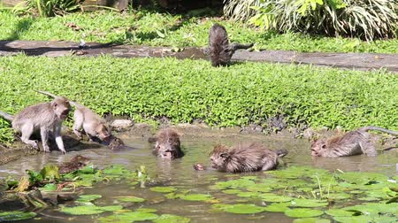 long tailed macaque : Video 1920x1080   Monkeys bathe and play in a decorative pond on the island of Bali. Sacred Monkey Forest, Ubud, Indonesia