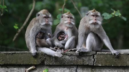 majom : Video 1920x1080  Monkey family at sacred monkey forest. Ubud, Bali, Indonesia