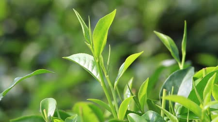 деревья : Young green leaves & leaf bud of the tea tree on plantation in Nuwara Eliya, Sri Lanka Стоковые видеозаписи