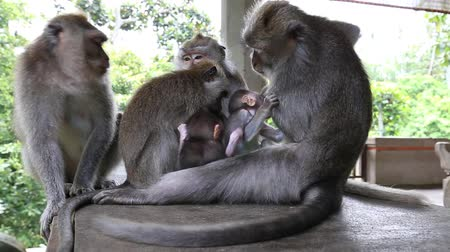 vida selvagem : Video 1920x1080 Monkey family at sacred monkey forest. Ubud Bali Indonesia