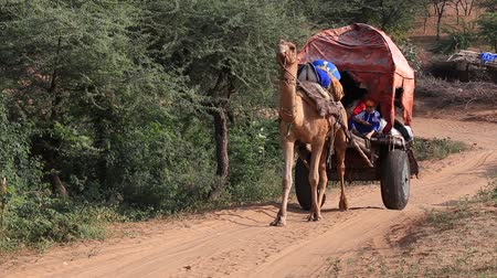 tribo : PUSHKAR, INDIA - OCTOBER 27, 2014: Unidentified Indian man and camel cart attended the annual Pushkar Camel Mela. This fair is the largest camel trading fair in the world.
