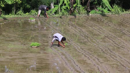 irrigate : UBUD, INDONESIA - FEBRUARY 24, 2015: Unknown farmer working hard on rice field in Bali. Balis fertile volcanic soil has made rice a central dietary staple.