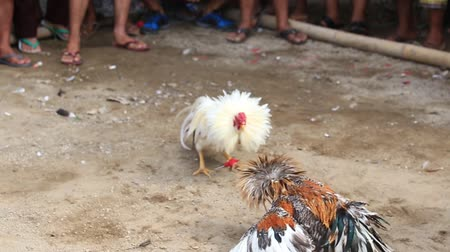 cockfighting : Roosters circling and attacking each other at cockfight in Ubud, Bali, Indonesia