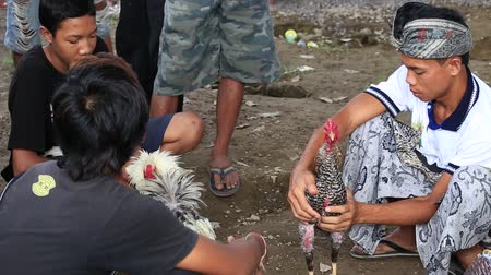 cockfighting : UBUD, BALI, INDONESIA - FEBRUARY 24, 2015: Unidentified people during traditional cockfighting competition. Cock fights are illegal, however are tolerated out of tradition.