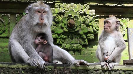 family life : Monkey family at sacred monkey forest. Ubud, Bali, Indonesia