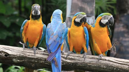amazonka : Blue and Yellow Macaw Parrot in Safari World. Bangkok, Thailand