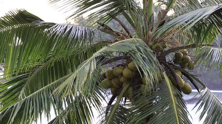 esőerdő : Tropical wind and coconut palm tree leaves, close up Stock mozgókép