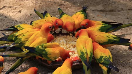 amazonka : Beautiful colorful parrot, Sun Conure, Aratinga solstitialis Wideo