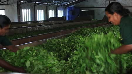 pulverizado : NUWARA ELIYA, SRI LANKA - NOVEMBER 10, 2014: Unidentified Sri Lankan women are engaged in the oxidation and drying tea leaves in tea factory